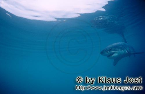 Weißer Hai/Great White shark/Carcharodon carchariasBaby Great White Shark Six sea miles from the coast of Gansbaai, quite close to Dyer Island and Gyser Rock, a Great White Shark only a few days old is seen moving close to the water surface. Great White Sharks are fully developed after birth – at this point in time they are 1.10 to 1.50 meters long – and can take care of themselves from the start. Their nourishment consists of smaller fish and squids. Pups are very careful and vanish off the scene as soon as they see a full-grown shark. Only very few pups reach adulthood.