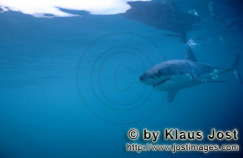 Weißer Hai/Great White shark/Carcharodon carchariasBaby Great White Shark searching for preySix sea miles from the coast of Gansbaai, quite close to Dyer Island and Gyser Rock, a Great White Shark only a few days old is seen moving close to the water surface. Great White Sharks are fully developed after birth – at this point in time they are 1.10 to 1.60 meters long – and can take care of themselves from the start. Their nourishment consists of smaller fish and squids. Pups are very careful and vanish off the scene as soon as they see a full-grown shark. Only very few pups reach adulthood.