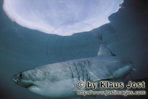 Great White shark/Carcharodon carcharias        Great White Shark near the water surface        A <b