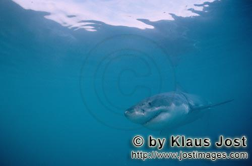 Great White shark/Carcharodon carcharias        Young Great White Shark        Six sea miles from th