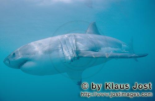 Weißer Hai/Great White shark/Carcharodon carcharias        Great White Shark - a beautiful and faci