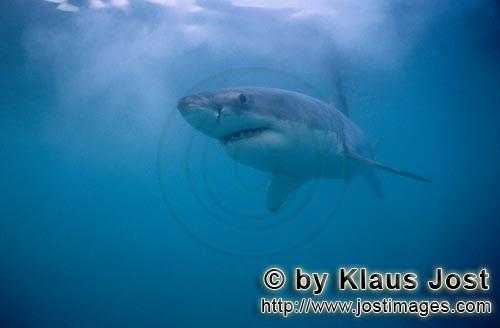 Weißer Hai/Great White Shark/Carcharodon carcharias        Beautiful, elegant, fascinating: The Gre