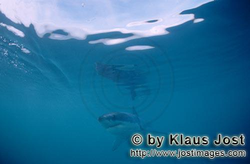 Great White shark/Carcharodon carcharias        Baby Great White Shark         Six sea miles from th