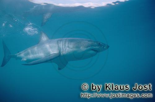 Weißer Hai/Great White Shark/Carcharodon carcharias        A large white shark is cruising offshore
