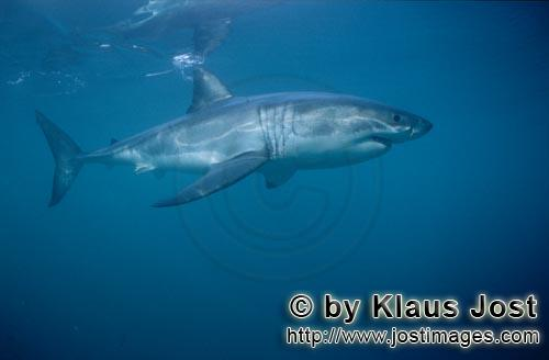 Great White Shark/Carcharodon carcharias        A very beautiful, majestic animal: The Great White S