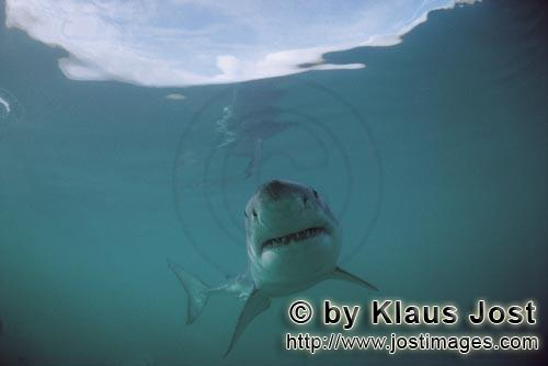 """Great White Shark/Carcharodon carcharias        The """"smile"""" of the Great White         A grea"""