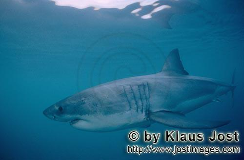 Weißer Hai/Great White Shark/Carcharodon carcharias        White shark hunting a few metres beneath
