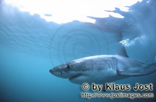 Great White shark/Carcharodon carcharias        Fascinating creature of the seas: The Great White Sh