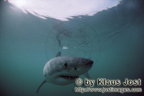 Weißer Hai/Great White Shark/Carcharodon carcharias        Surface hunter Great White Shark