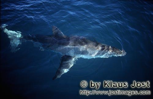 Great White Shark/Carcharodon carcharias        Great white shark on the surface of the sea
