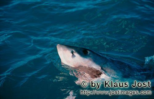 Weißer Hai/Great White Shark/Carcharodon carchariasGreat White Shark lifts its head over water