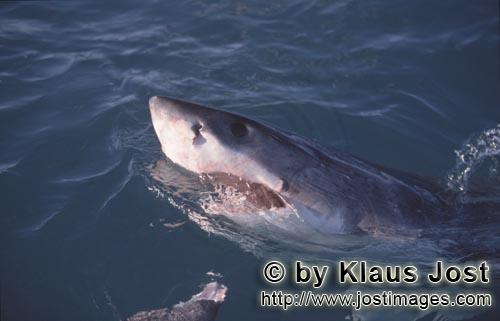 Weißer Hai/Great White Shark/Carcharodon carcharias        Great White Shark lifts its head over water