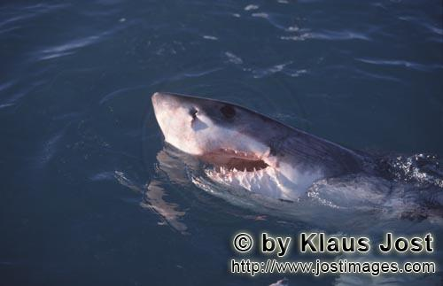 Great White Shark/Carcharodon carcharias        The Great White Shark - a perfect hunter        With