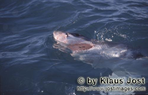 Great White Shark/Carcharodon carcharias        Surface Hunter Great White Shark        A great w