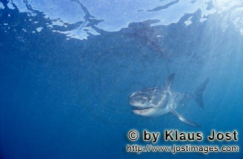 Weier Hai/Great White shark/Carcharodon carchariasBaby Great White Shark searching for preySix sea miles from the coast of Gansbaai, quite close to Dyer Island and Gyser Rock, a Great White Shark only a few days old is seen moving close to the water surface. Great White Sharks are fully developed after birth  at this point in time they are 1.10 to 1.60 meters long  and can take care of themselves from the start. Their nourishment consists of smaller fish and squids. Pups are very careful and vanish off the scene as soon as they see a full-grown shark. Only very few pups reach adulthood.