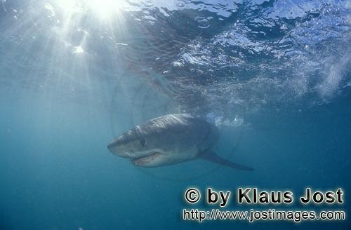Great White shark/Carcharodon carcharias        Baby great white shark in the light-flooded water</b