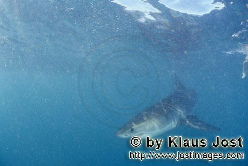Great White shark/Carcharodon carcharias        Baby Great White Shark just below the water surface<