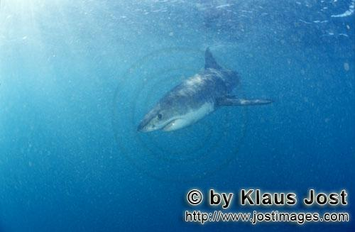 Great White shark/Carcharodon carcharias        A rare sight: Baby Great White Shark         Six se