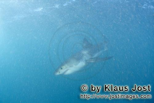 Great White shark/Carcharodon carcharias        Six sea miles from the coast of Gansbaai, quite close t