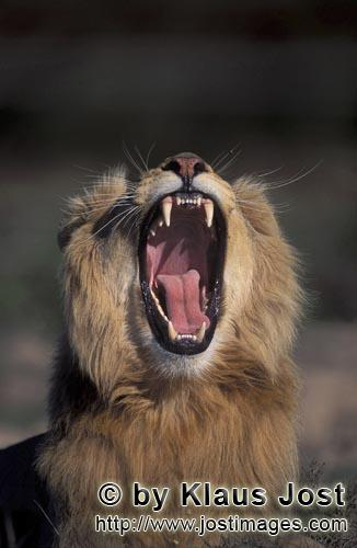 African Lion/Panthera leo        A Male lion yawning widely         captive