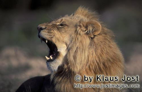 African Lion/Panthera leo        Head portrait of yawning lion from the side        captive