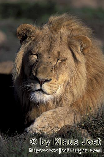 African Lion/Panthera leo        A tired Male lion        captive