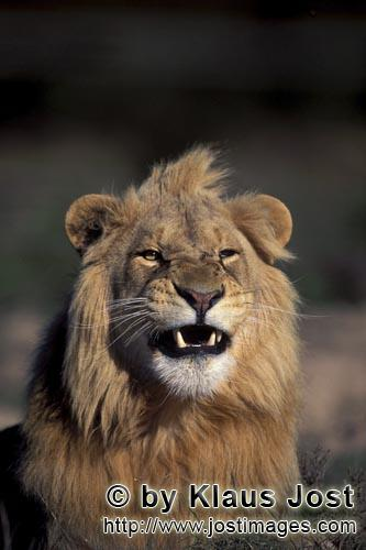 African Lion/Panthera leo            Male lion snarling            captive