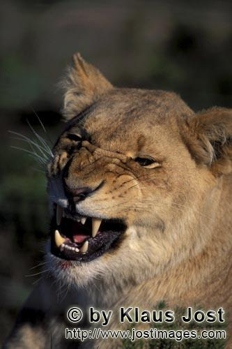 African Lion/Panthera leo        A Female lion snarling        captive