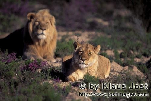 African Lion/Panthera leo        Pair of African Lions