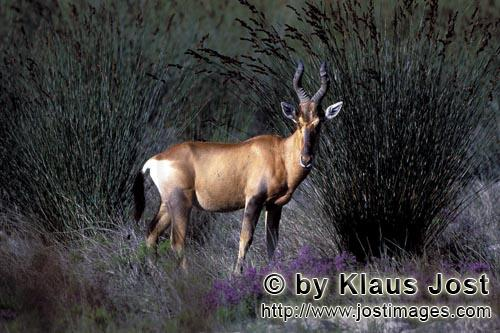 Bontebok/Pied buck/Bunte Bock/Damaliscus dorcas        Bontebok standing in undergrowth        In th
