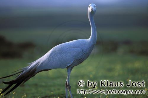 Blue Crane/Anthropoides paradiseus        Portrait Blue Crane