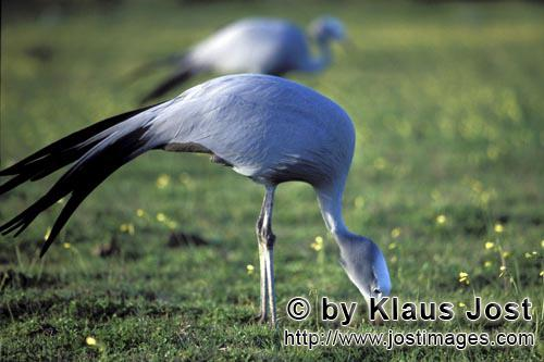 Blue Crane/Anthropoides paradiseus        Blue Crane find food in the meadow