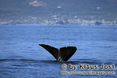 Southern Right Whale/Eubalaena australis        Fluke of Southern Right Whale