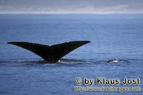 Southern Right Whale/Eubalaena australis        Fluke of Southern Right whales above water