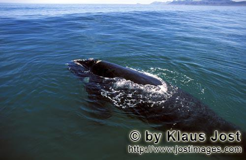 Southern Right Whale/Eubalaena australis        Southern Right Whale comes to the surface of the wat