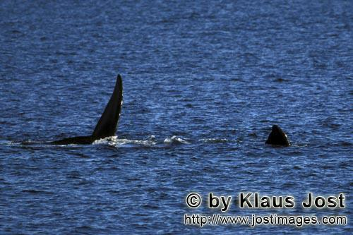 Southern Right Whale/Eubalaena australis        Fins of Southern Right Whale on the water surface</b