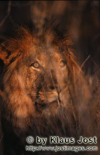 African Lion/Panthera leo        Male Lion looks through the thicket        Shortly before sunrise �