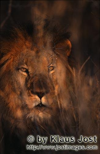 African Lion/Panthera leo        Male African Lion        Shortly before sunrise – it was the day