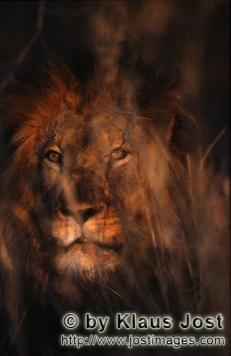 African Lion/Panthera leo        Mysterious African Lion        Shortly before sunrise – it was th