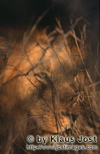 African Lion/Panthera leo        Male lion in the morning light         Shortly before sunrise – i