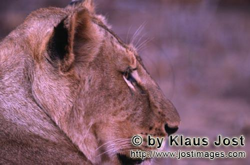 African Lion/Panthera leo        African female lion         Shortly before sunrise – it was the d