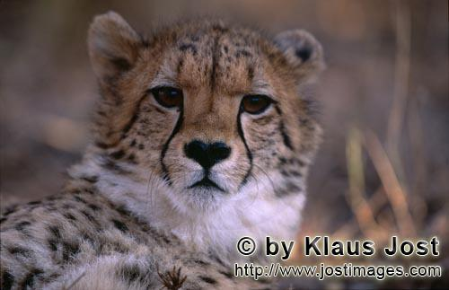 Cheetah/Gepard/Acinonyx jubatus        Young cheetah         captive