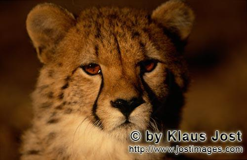 Cheetah/Acinonyx jubatus        Young Cheetah in the early morning         captive