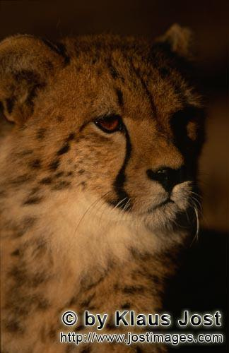 Cheetah/Acinonyx jubatus        Young cheetah at dawn         captive