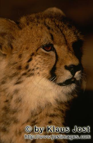 Cheetah/Acinonyx jubatus        Young cheetah showing great interest         captive