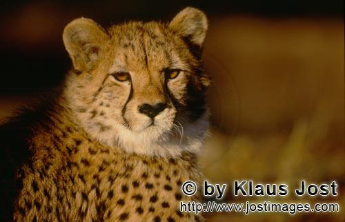 Cheetah/Acinonyx jubatus        Bright, amber Cheetah eyes         captive