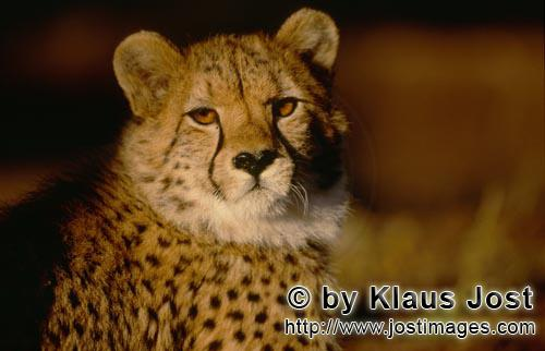 Cheetah/Acinonyx jubatus        Amber Cheetah eyes         captive