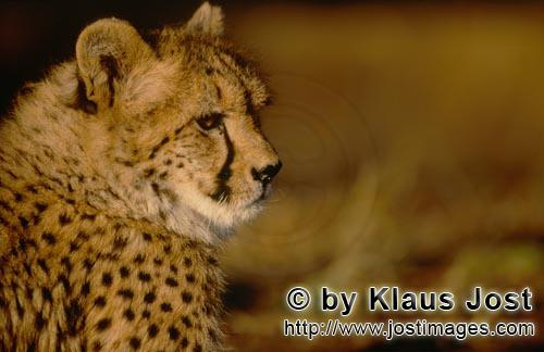 Cheetah/Gepard/Acinonyx jubatus        Cheetah in the soft light of the morning         captive
