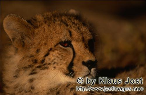 Cheetah/Gepard/Acinonyx jubatus        Fascinating big cat Cheetah         captive