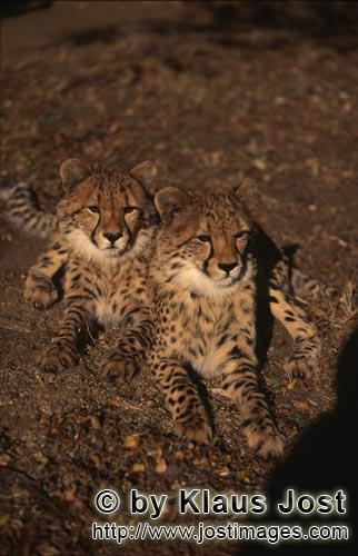 Cheetah/Acinonyx jubatus        Two fascinating young cheetahs